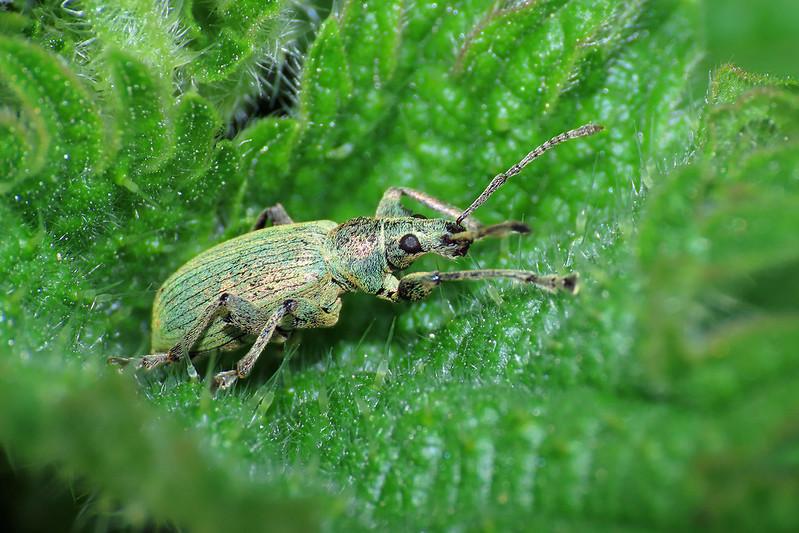 Green Nettle Weevil - Phyllobius pomaceus