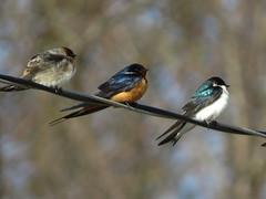 Swallows Represent
