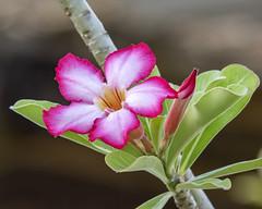 Desert Rose (Adenium)
