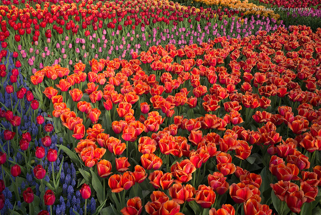 Tulip bed at Keukenhof