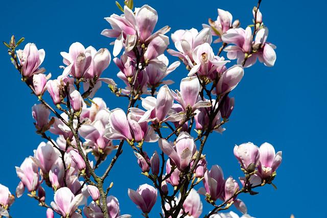 Magnolie - Magnolia - 0080