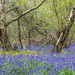 Bluebells in North Cliffe Wood