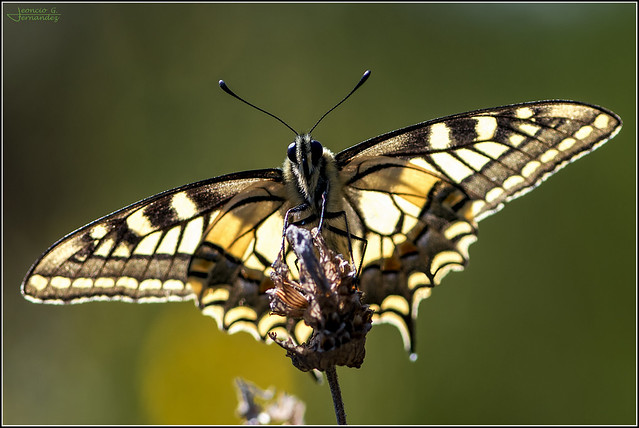 Papilio machaon_3226-2