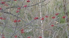 Chester Creek walk, high growing cranberries