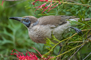 Little Friarbird (1) | by bidkev1 and son (see profile)