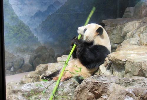 Papa Tian Tian eating boo