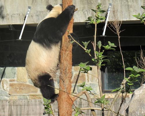 Panda Bei climbing