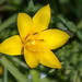 Yellow Lilly
