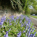 Urban nature - Spring bluebells at Riversway, Preston