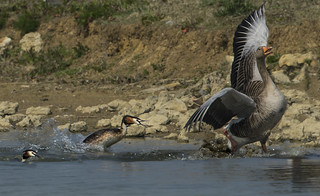 Why did Mr Grebe chase off this heavtweight Intruder?