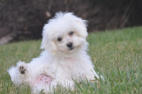 Happy Maltese sits outside in grass. Protect your dog from indoor air pollution.