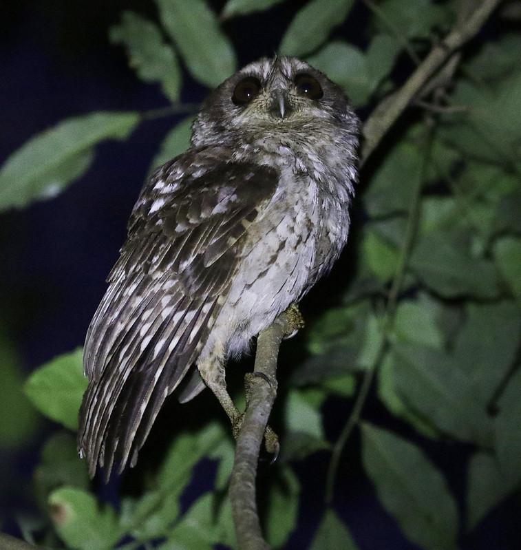 Bare-legged Owl, Margarobyas lawrencii Ascanio_Cub2 199A2747