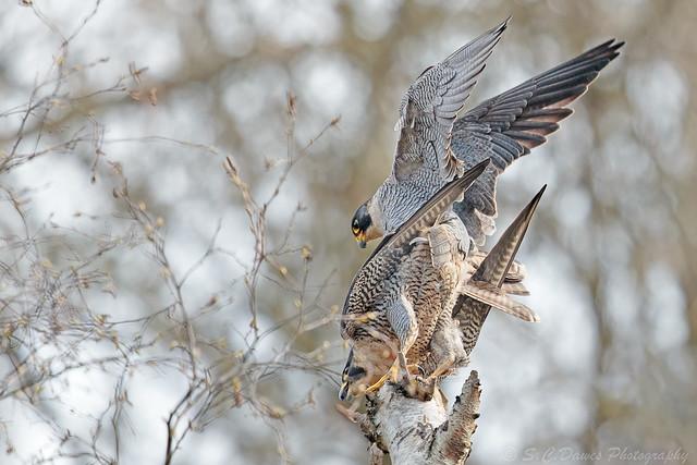 Peregrine Falcons ( Falco peregrinus )