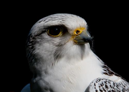 Gyr Falcon (Explored)