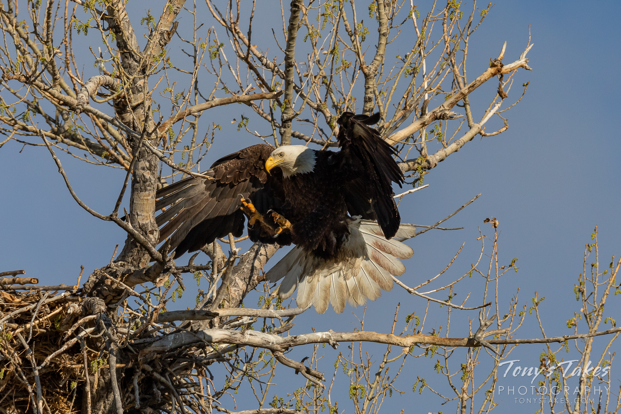 A bald eagle extends its legs and opens its talons as it prepares to land in Adams County, Colorado. (© Tony's Takes)