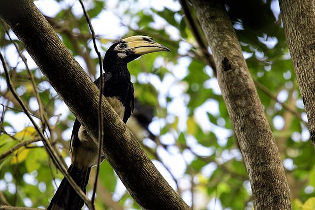 Kaeng Krachan NP: Oriental Pied Hornbill