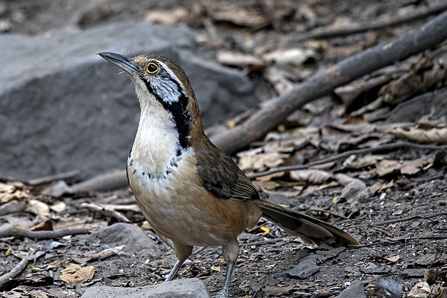 Kaeng Krachan N.P.: Greater-necklaced Laughingthrush at the Blind