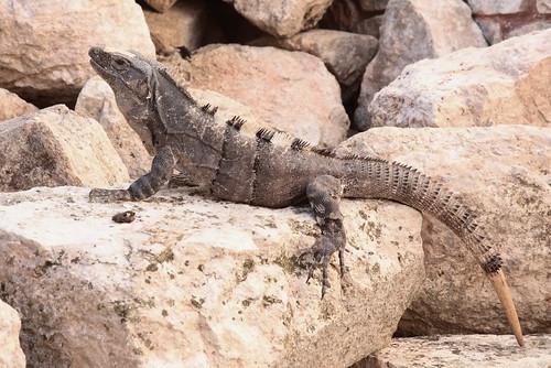 Iguana Amongst The Ruins