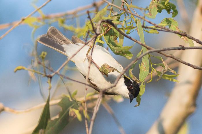 White-throated Honeyeater