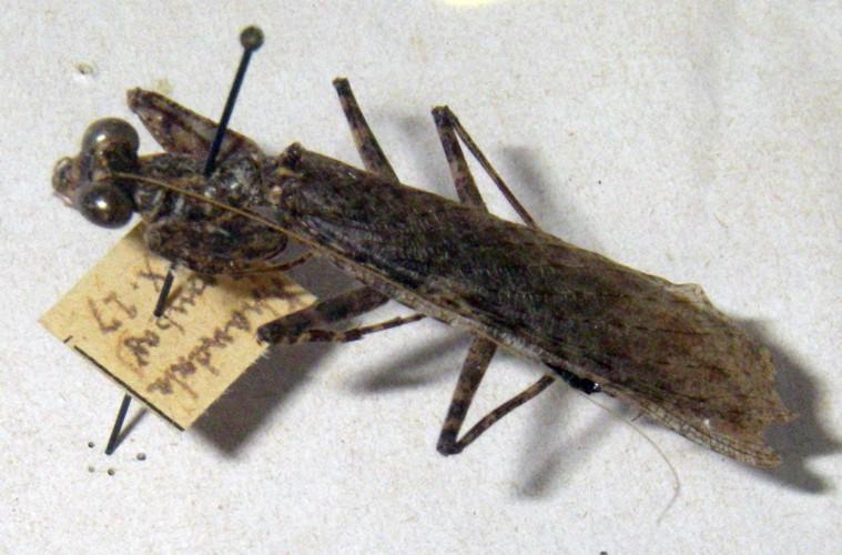Humbertiella similis 47702483831_7bc77f3544_o
