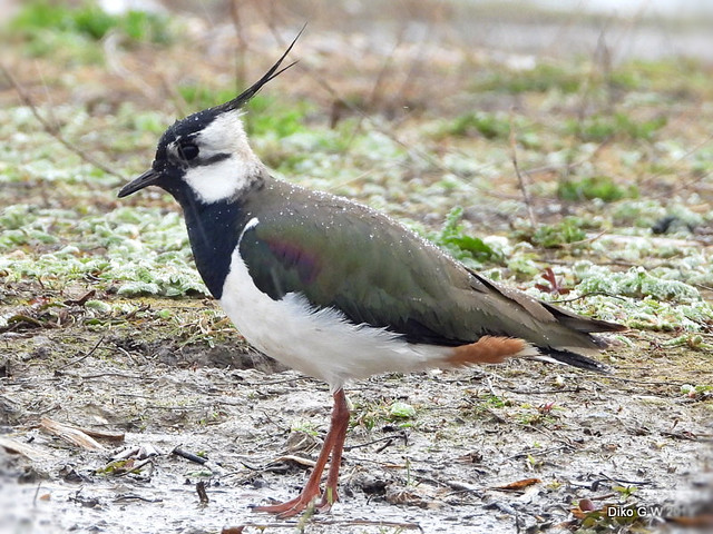 Lapwing in the rain