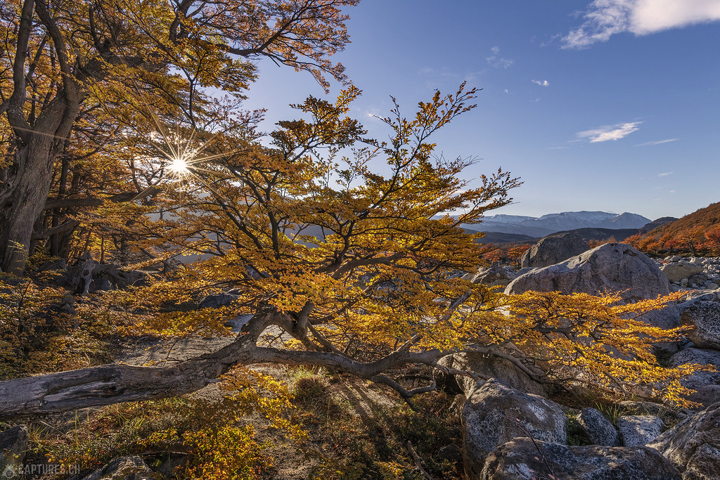 Fall colors in the forest - El Chalten