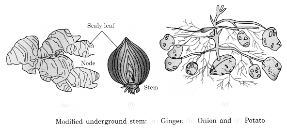 Getting to Know Plants Class 6 Notes Science Chapter 7 2