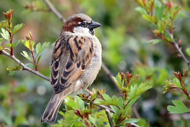 House Sparrow-7D2_2983-001