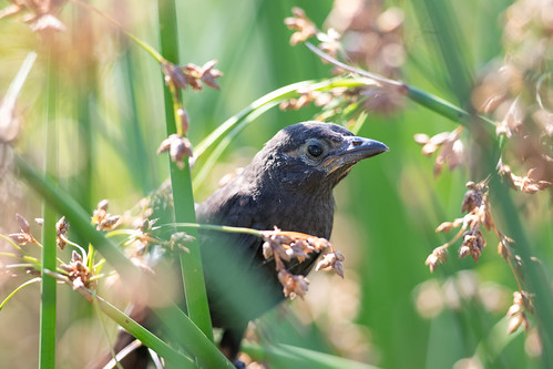 Common Grackle chick