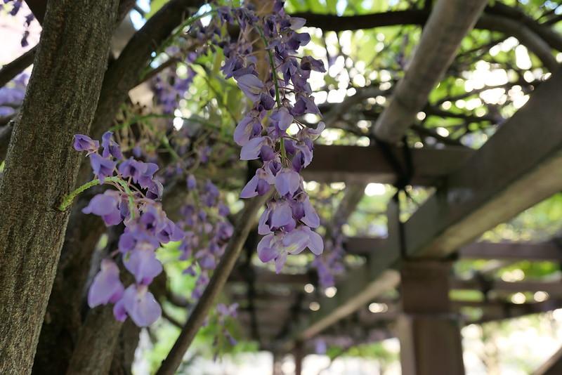 wisteria Kameido Tenjin