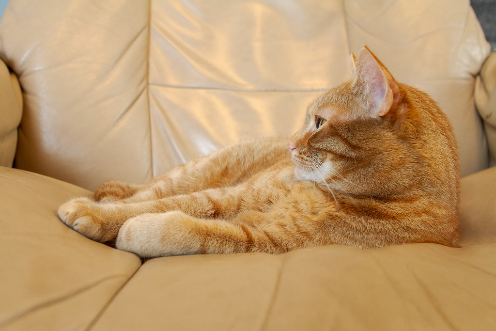 Our cat Sam resting on my recliner in February 2012