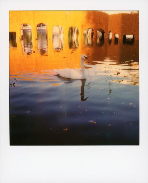 Muertos Swan