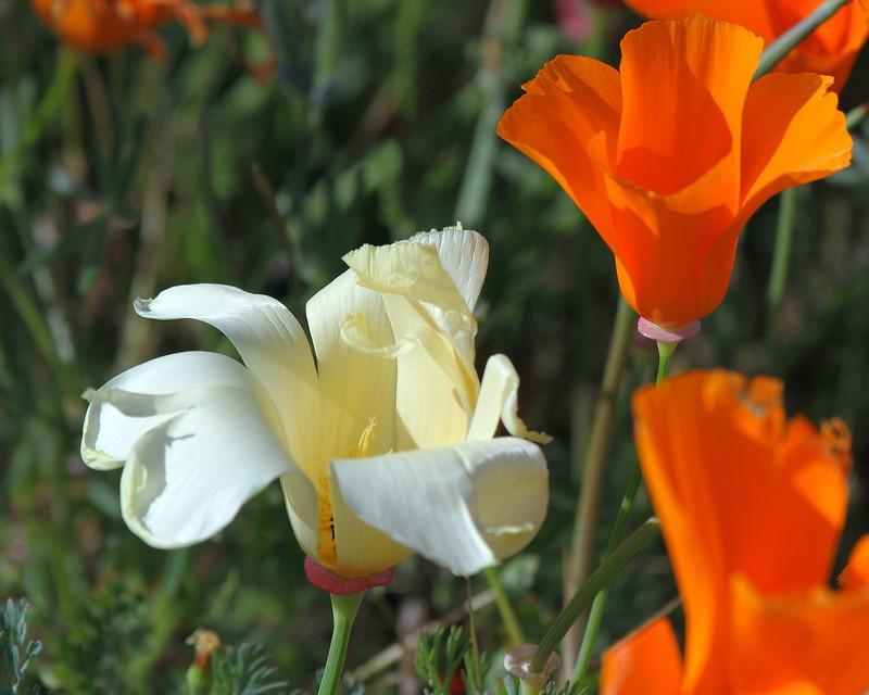 IMG_0868 Cream Color California Poppy