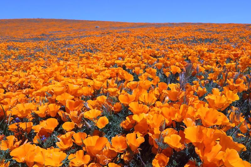 IMG_0939 California Poppy, Antelope Valley California Poppy Reserve