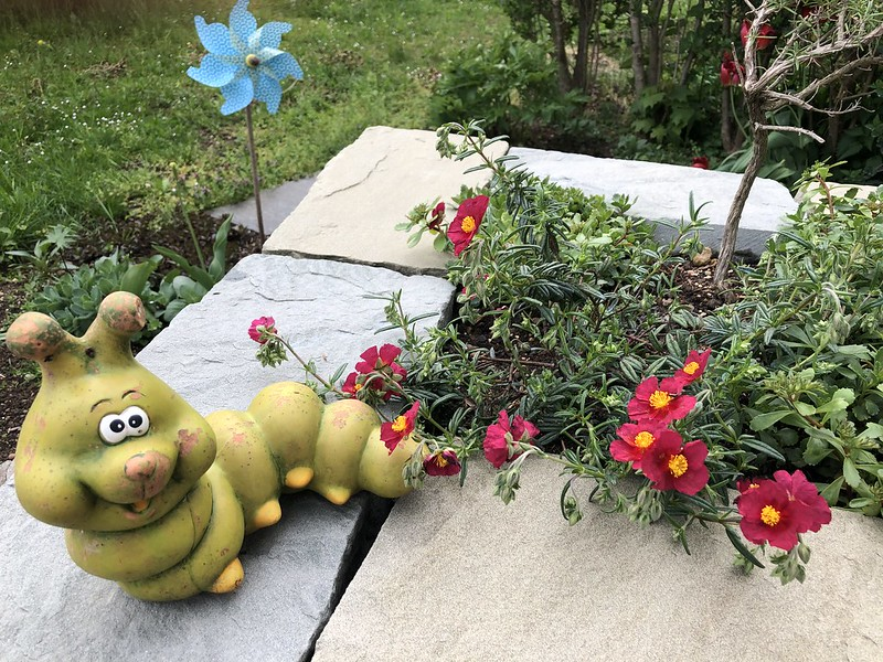 Sun roses and a caterpillar