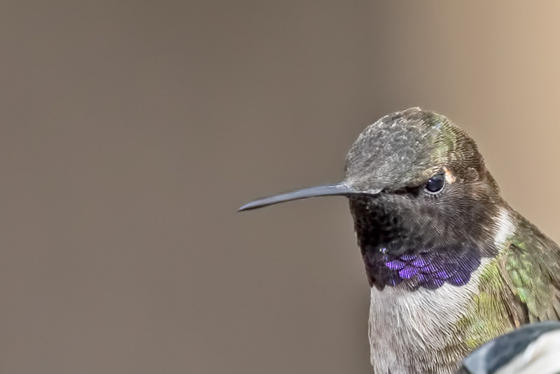 Black-chinned-Hummer-41-7D2-041719
