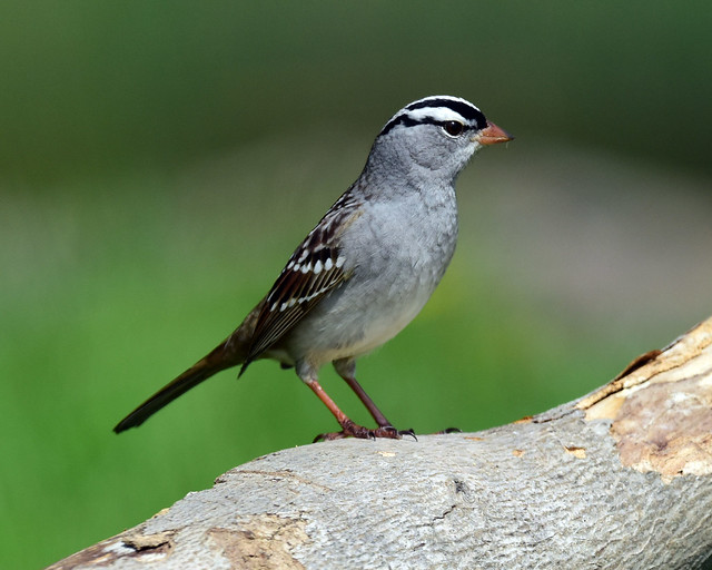 DSC_9874.White-crowned Sparrow