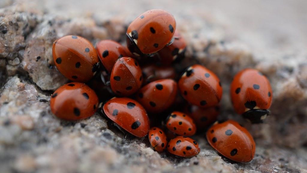 Bunch Of Lady Bugs