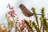 Sylvia undata - Felosa do Mato - Dartford Warbler