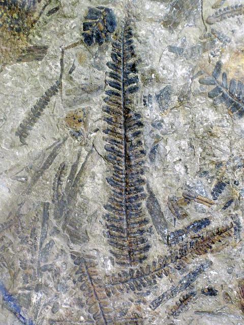 Fossil fern 2