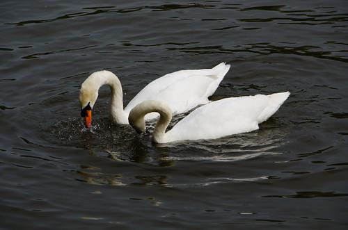 Swan dance, River Avon