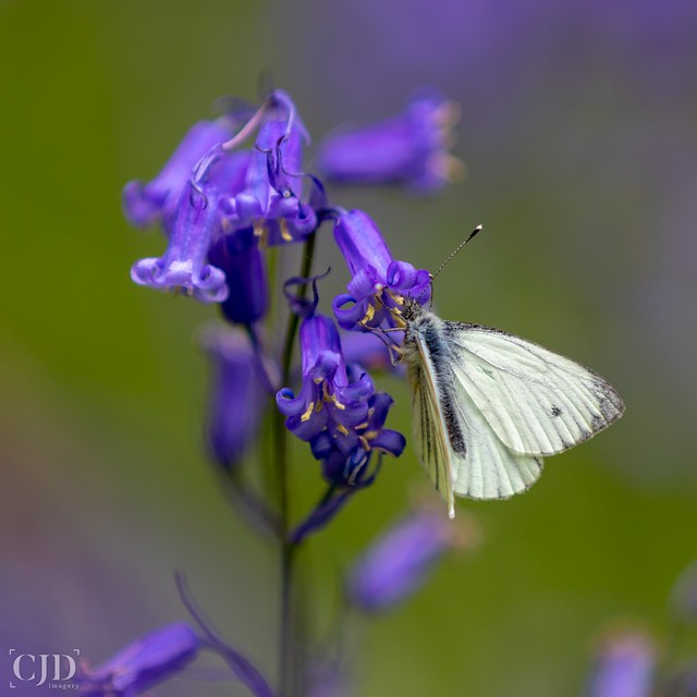 Bluebells Provide Some Of The Sweetest Nectar.....(Looking Close... On Friday! - Hobby)