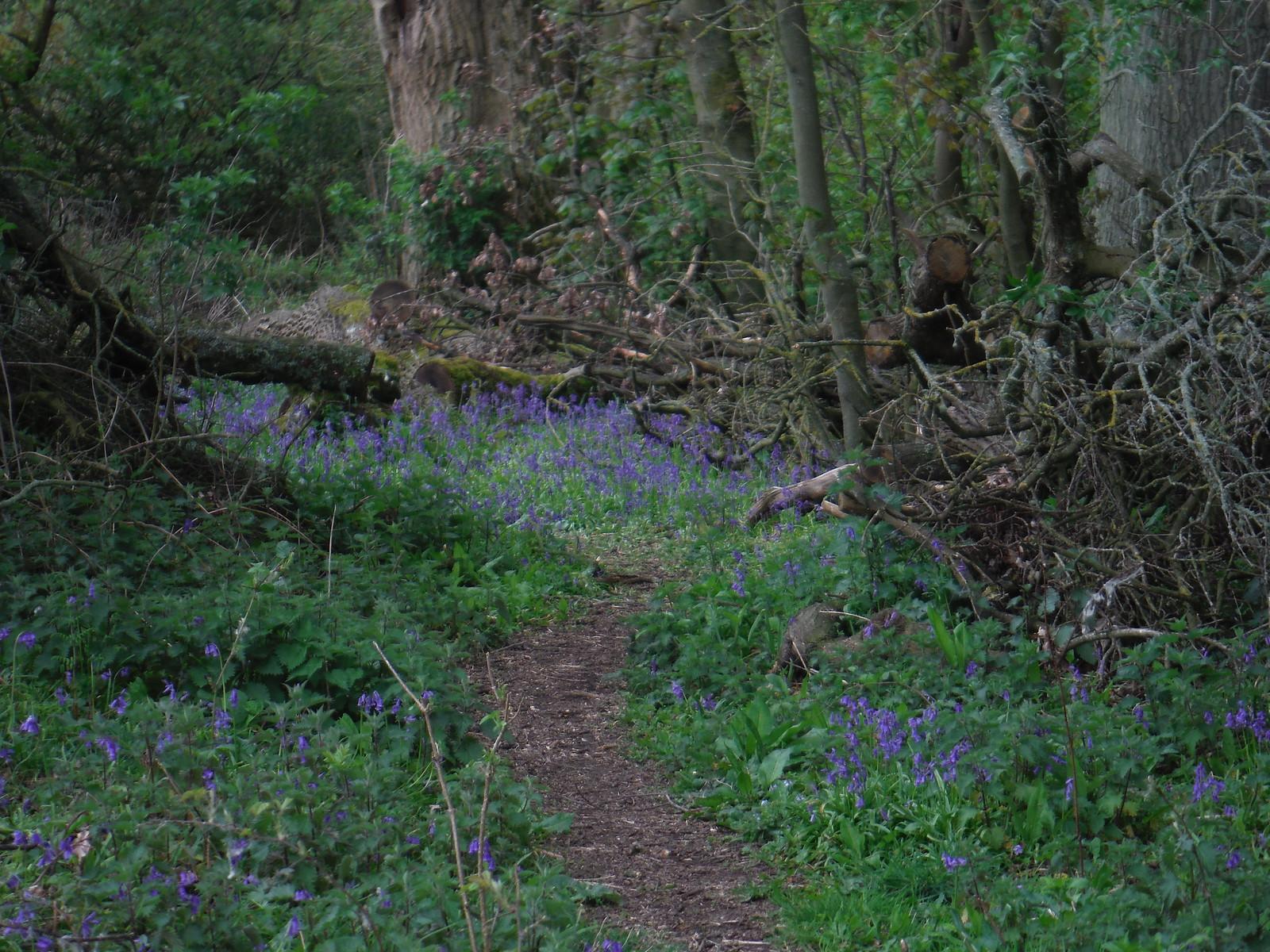 Bluebells in Hinchleywood SWC Walk 326 - Dovedale (Ashbourne Circular)