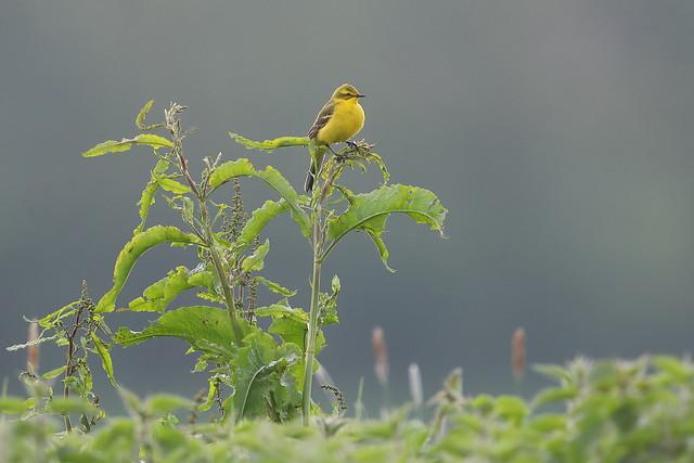 Yellow Wagtails in abundance