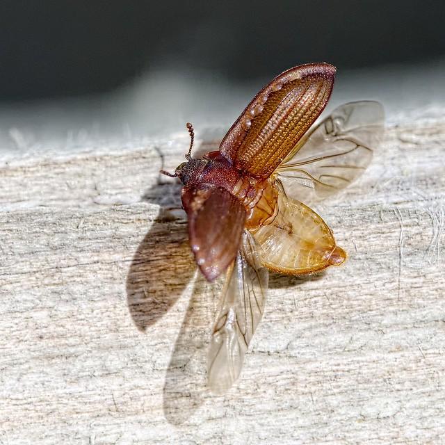 Peltis ferruginea
