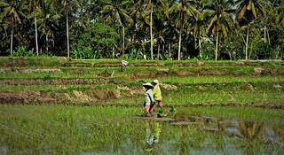 INDONESIEN, Bali - vorbei an Reisfeldern,  181136/11406