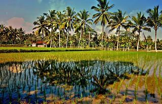 INDONESIEN, Bali - vorbei an Reisfeldern, 18137/11407