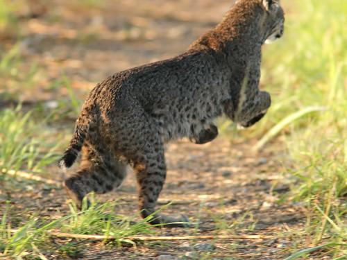 Bobcat 01- 20190503