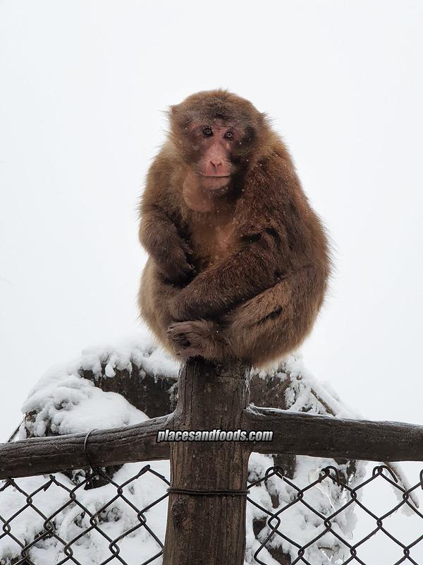 china emei monkey