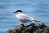 Common tern (Sterna hirundo) / Речная крачка.